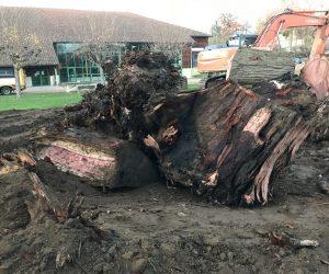 Le sequoïa a été dessouché